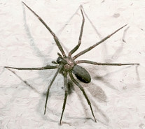 Photo Credit: Wikipedia. Brown Recluse Spider (Loxosceles reclusa)